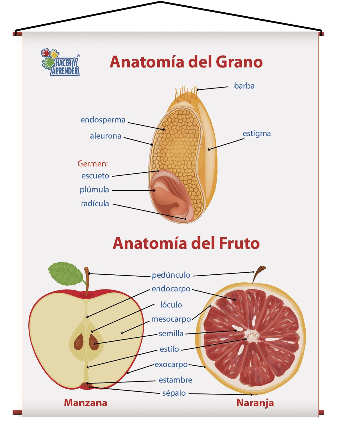 1708 ANATOMIA DEL GRANO