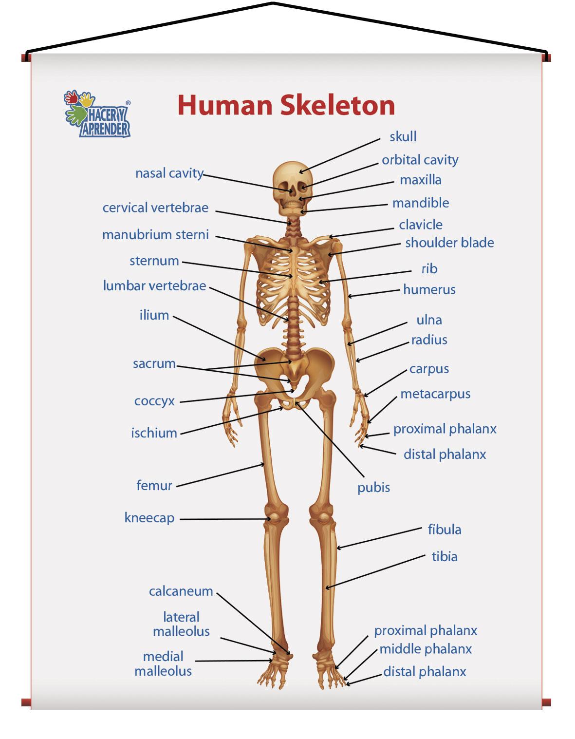 1735 HUMAN SKELETON