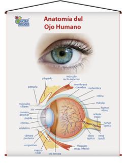 1709 ANATOMIA DEL OJO HUMANO