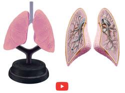 3154 Sistema Respiratorio