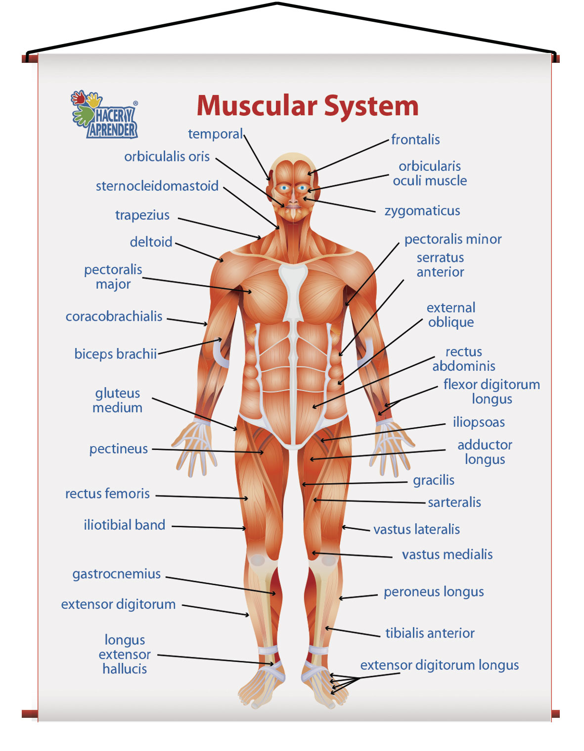 1755 MUSCULAR SYSTEM