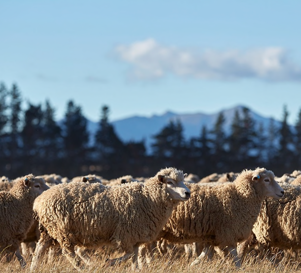 Sheep in a field with a mountain backdrop