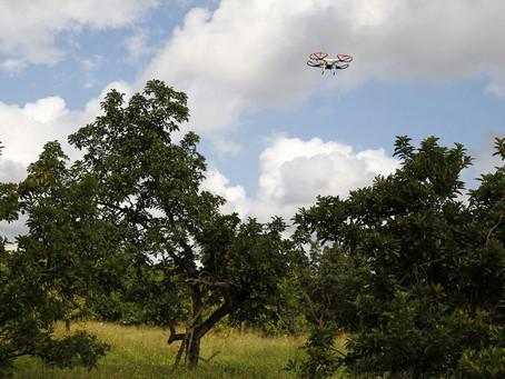 CASE STUDY: Drone Helps Avocado Growers Spot Laurel Wilt Disease