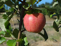 A & L Peterson Orchards apples