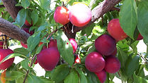 A & L Peterson Orchards plums