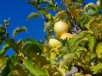 A & L Peterson Orchards golden delicious apples