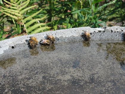 Several bees drinking
