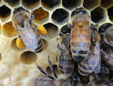 Bee with pollen on comb