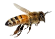 bee%20in%20flight_edited.png