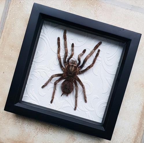 Framed Taxidermy Tarantula