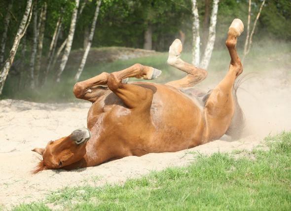 colic horse