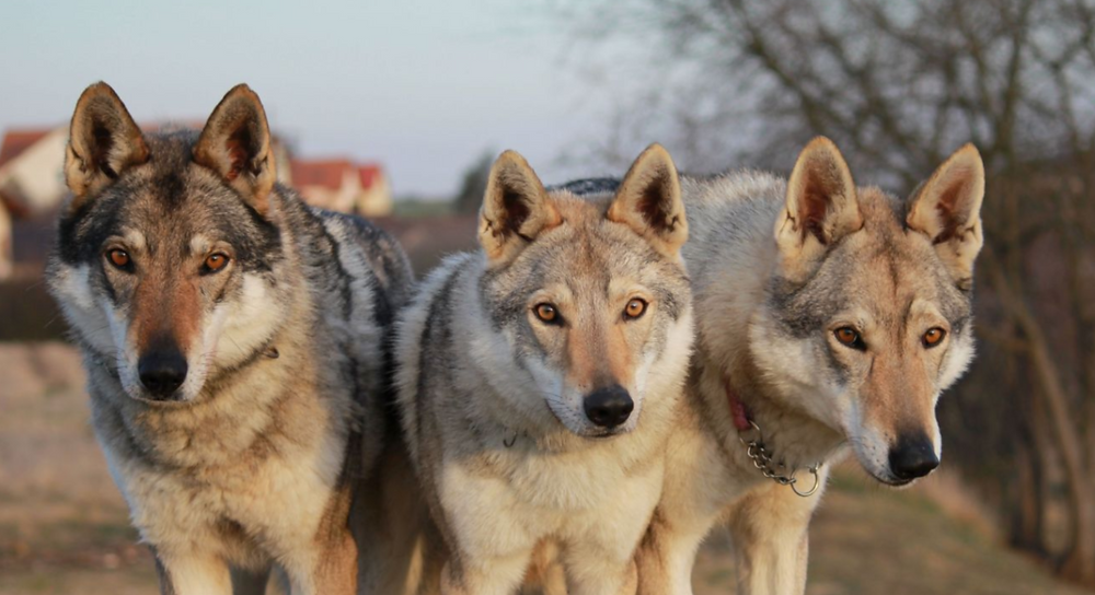 Three medium sized wolves stand on arid grass on a cloudy day. Their orange eyes are framed by tufts of gray and brown hair. Their snouts and breasts are white, against the dappled fur of their back and ears.