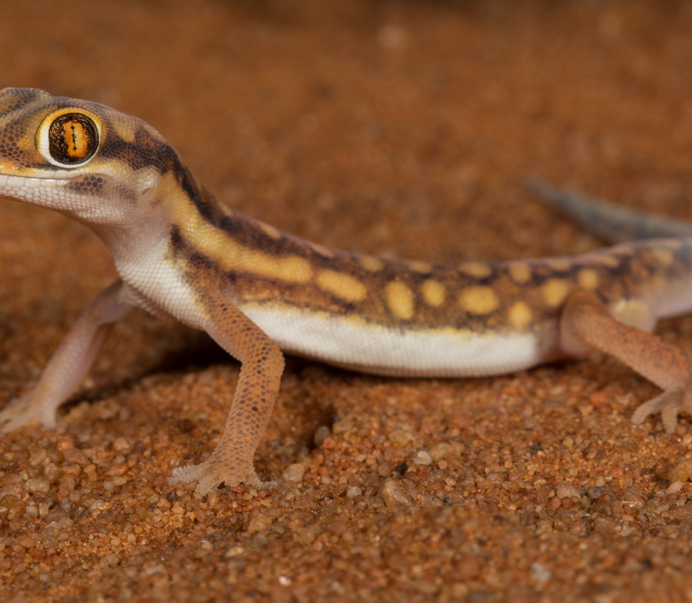 Pachydactylus wahlbergii-South Africa-IM