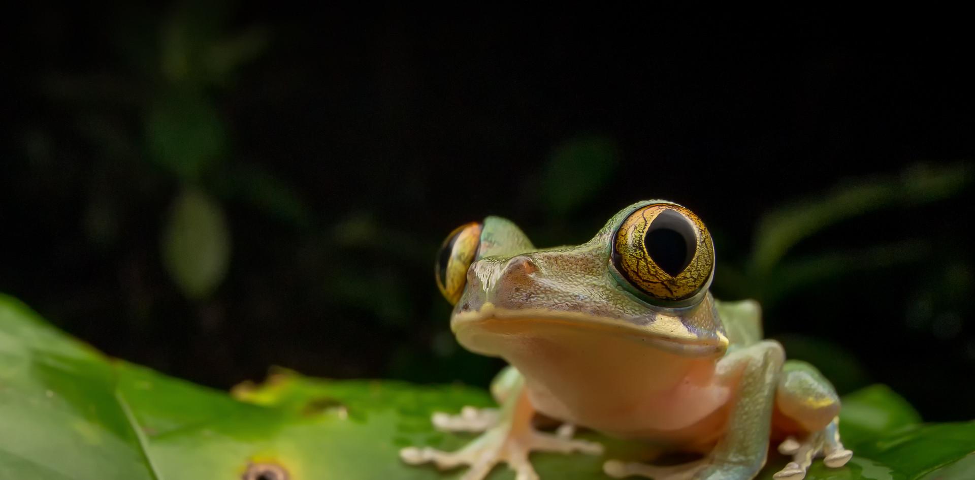Leptopelis boulengeri-Cameroon-IMG_2813-