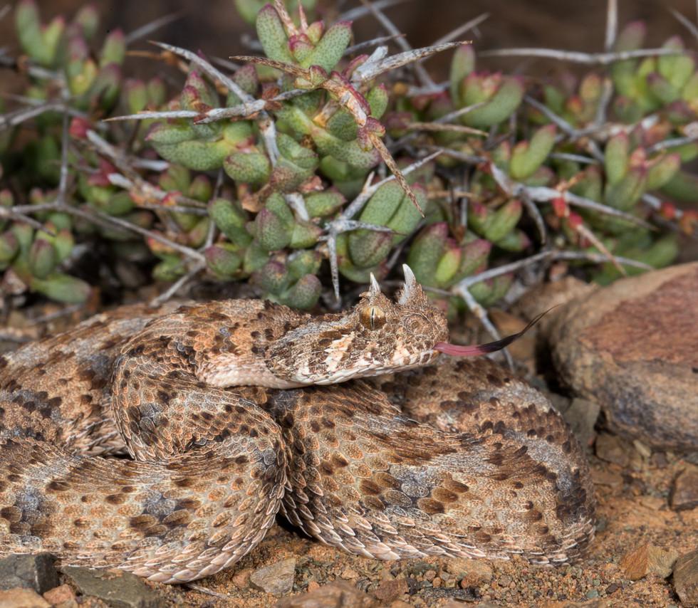 Bitis caudalis-South Africa-IMG_2226-Luk