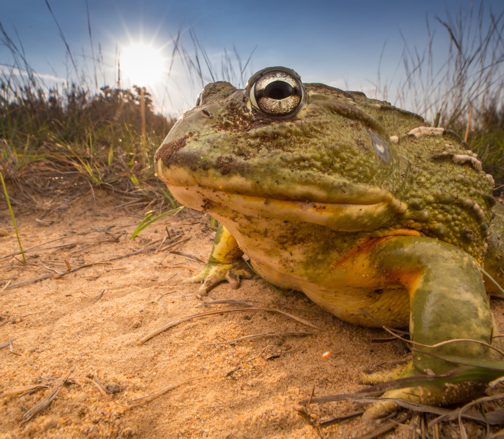Pyxicephalus adspersus-South Africa-IMG_