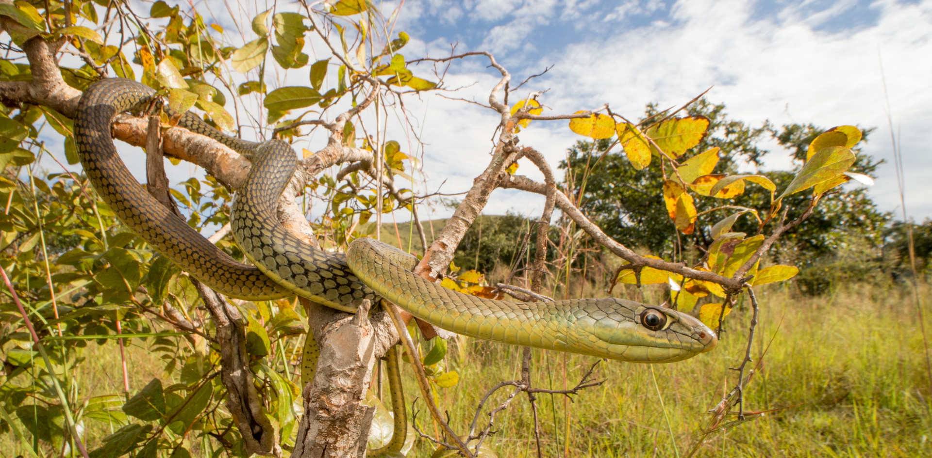 Psammophis mossambicus-Angola-IMG_1595-L