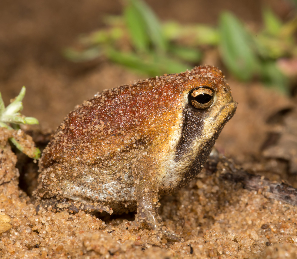 Breviceps mossambicus-South Africa-IMG_5
