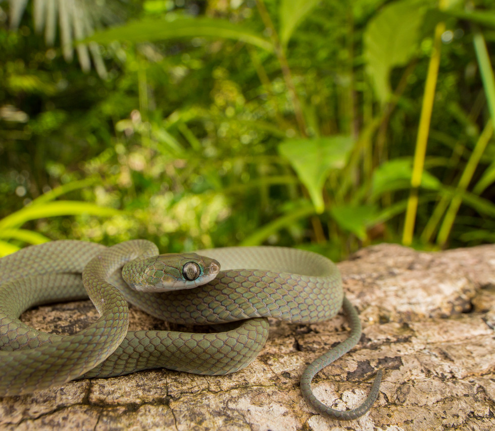 Dipsadoboa viridis-Liberia-IMG_6064-Luke