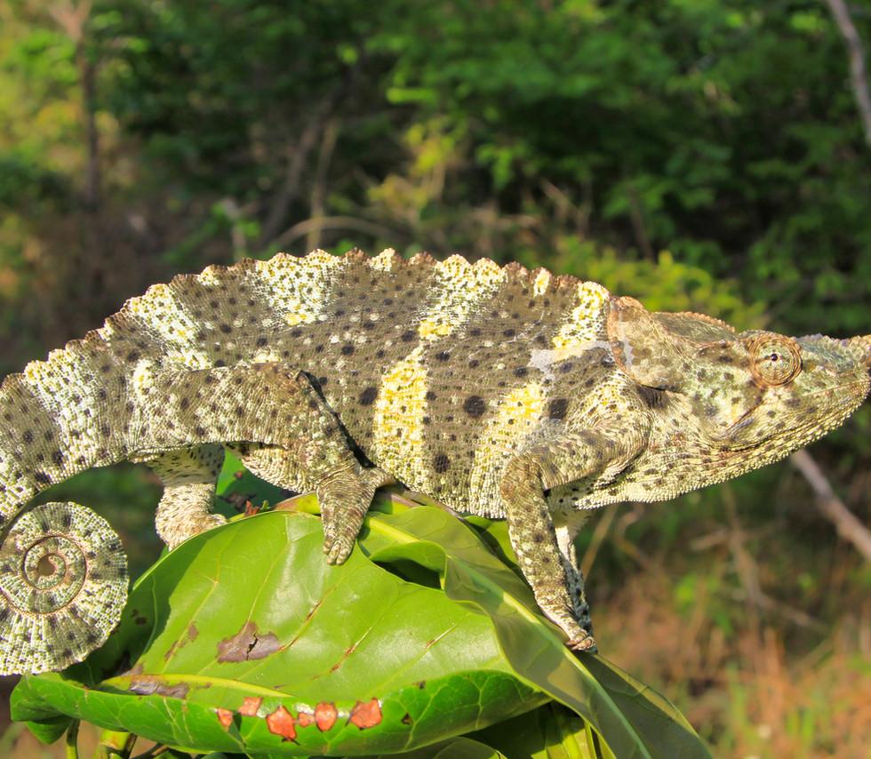 Trioceros melleri-Palma-Mozambique-Luke