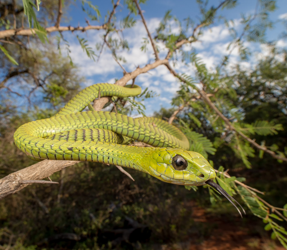 Dispholidus typus viridis-Blouberg-Luke