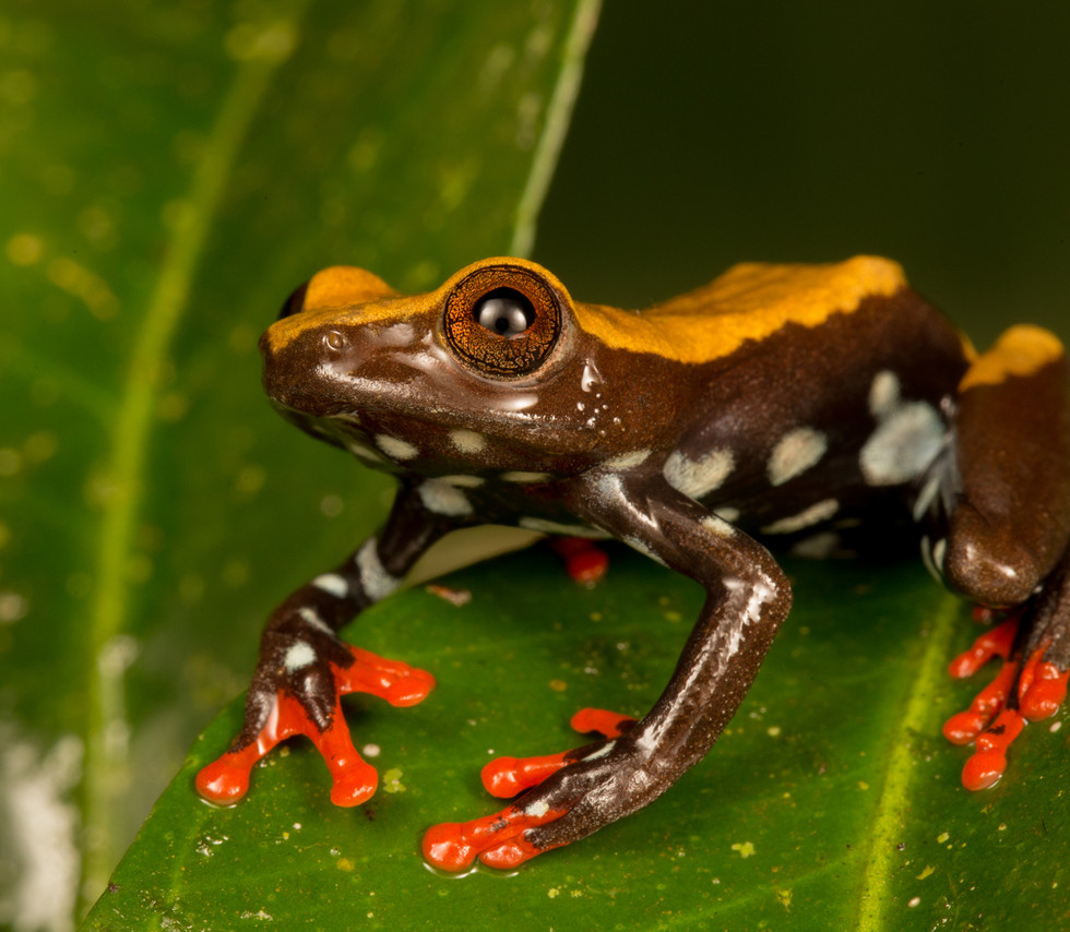 Hyperolius bolifambae-Cameroon-IMG_2986-