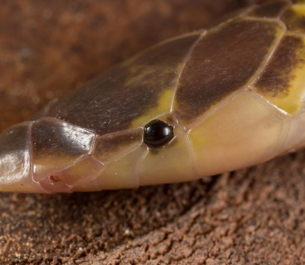 Xenocalamus mechowii-Angola-Luke Verburg