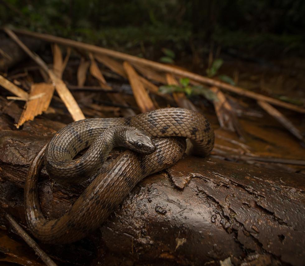Afronatrix anascopus-Ivory Coast-IMG_136