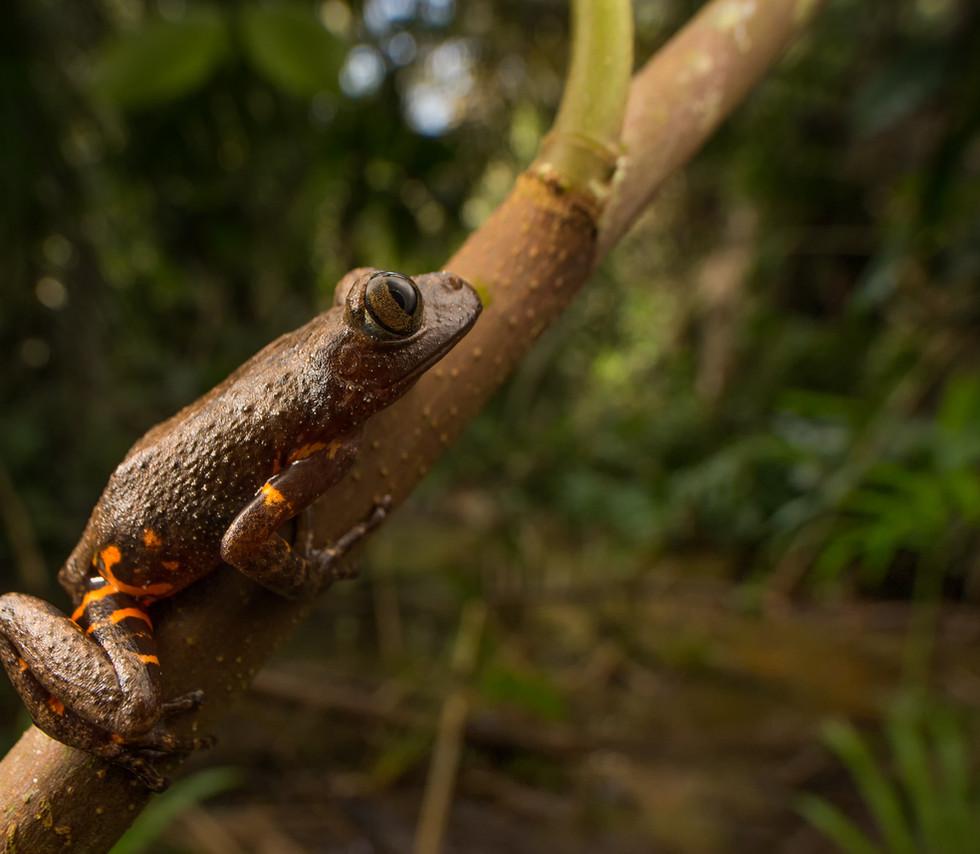 Phlyctimantis boulengeri-Ivory Coast-IMG