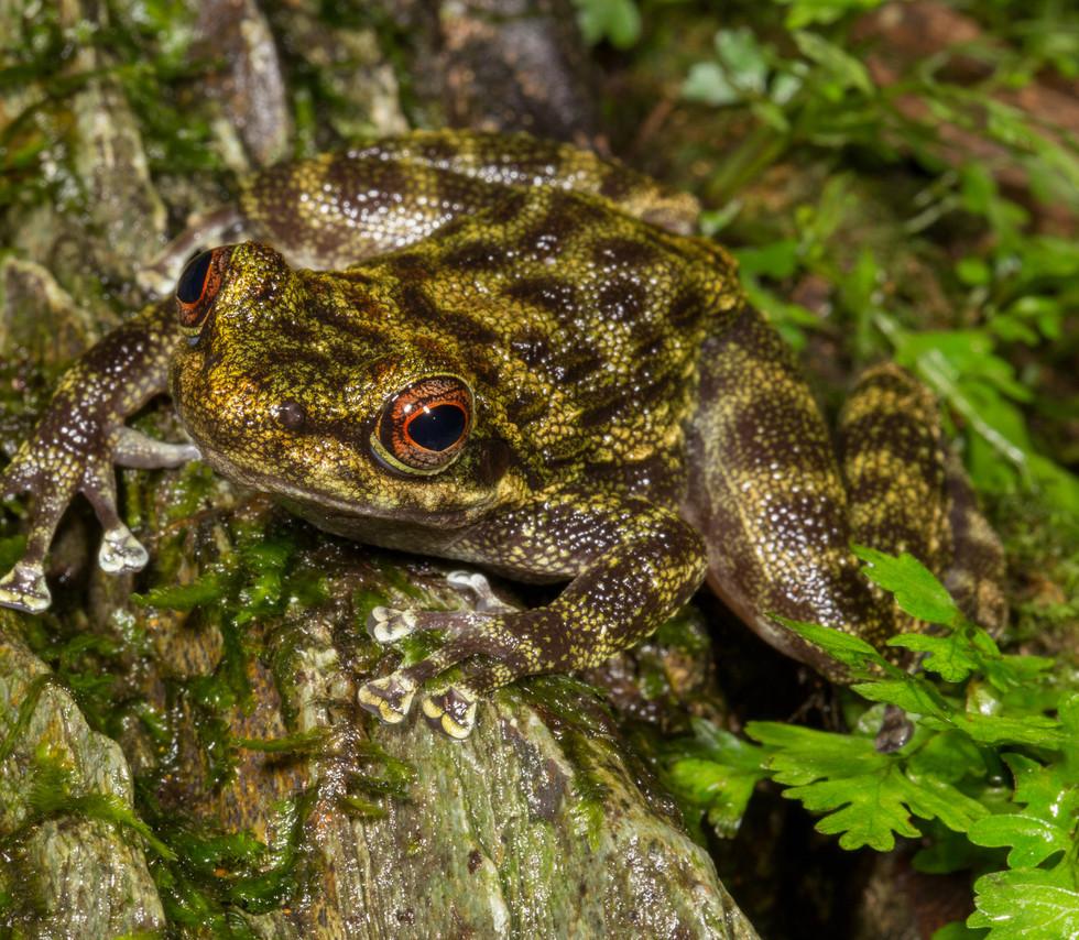 Odontobatrachus natator-Liberia-IMG_5421
