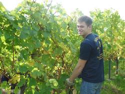 Weinlese im Weingut