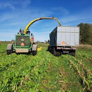 Cover crops in corn 2017
