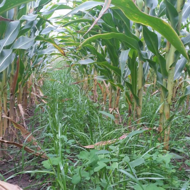 Cover crops broadcast into corn 2015