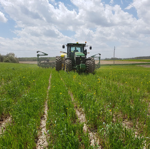Planting into fall strip-tilled cover crop 2017