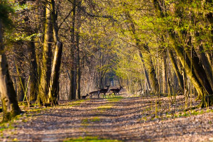 Daini nel bosco