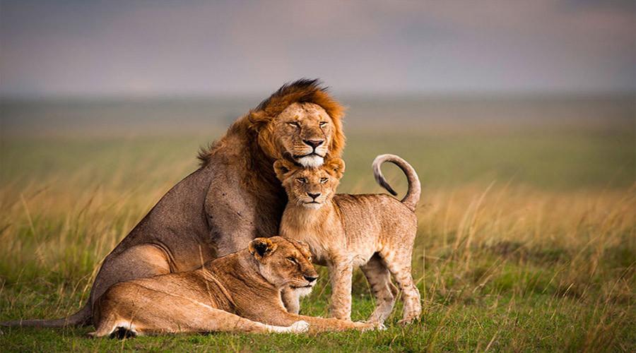 Lion in the Masai Mara, Kenya