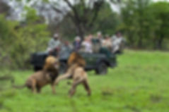 Kruger Park Lion Safari