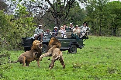 Kruger Park Lion Safari