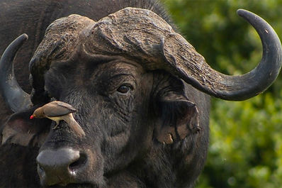 BUFFALO-SAFARI.jpg