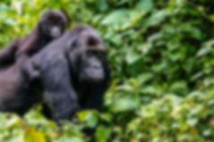 Rwanda Gorilla Trekking Prices