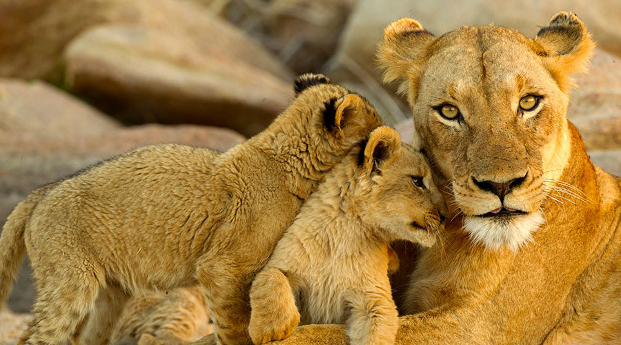 Kruger Lioness and Cubs