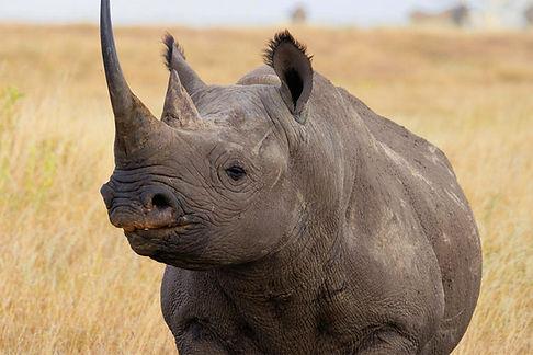 Black-Rhino-Hero.jpg