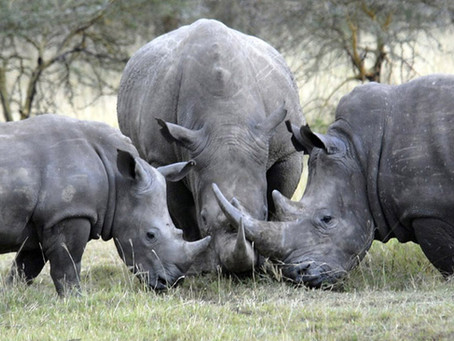 Rhino Horn Trade - To Legalise or Not