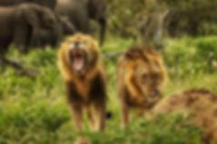 Lion-Kruger-Park.jpg