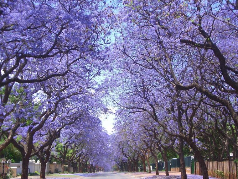 Jacarandas Buenos Aires