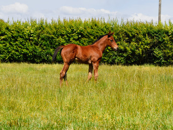 CONTRIBUTER - SHA JULES FILLY