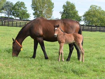 ATLANTE - SILK SHOT FILLY