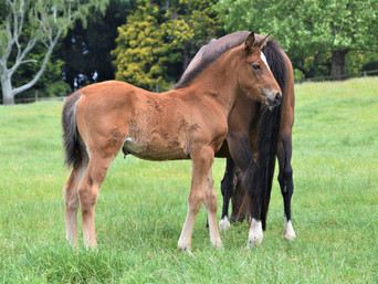 PUCCINI - FORMER GLORY FILLY