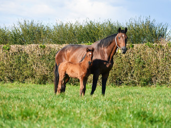 PUCCINI - DOSH FILLY