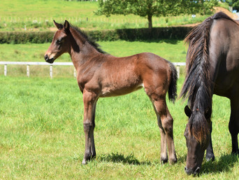 ATLANTE - MISS LINCOLN FILLY